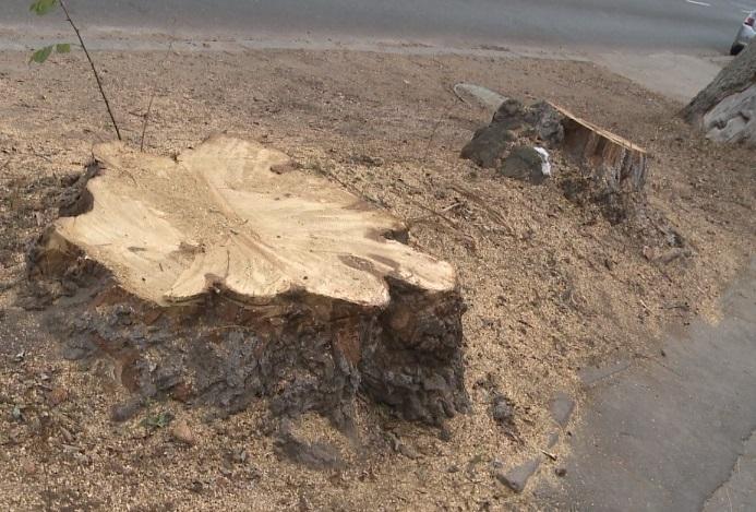 Primăria continuă să taie copaci fără milă